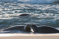 Hawaiian monk seals, Neomonachus schauinslandi, greeting each other in surf at sunset, Critically Endangered endemic species, west end of Molokai, USA, Pacific Ocean