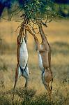 Gerenuk, Samburu National Reserve, Kenya