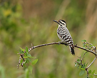A small black-and-white woodpecker of the southwestern United States and Mexico that forages and nests in cactus. Female of the species.