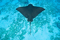 ocellated eagle ray, Aetobatus ocellatus at Eagle Ray City, Saipan, Commonwealth of Northern Mariana Islands, Micronesia (Western Pacific Ocean)