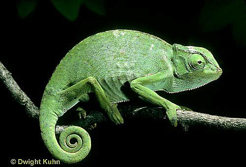 CH23-001z  African Chameleon - puffed up male,  warning off intruder - Chameleo senegalensis