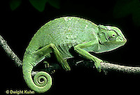 CH23-001z  African Chameleon - puffed up male,  warning off intruder - Chameleo senegalensis