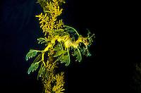 A leafy seadragon, relative of the seahorse, appears to drift like seaweed in its tank at the Waikiki Aquarium, Kapiolani Park, Honolulu