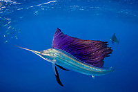 pelagic Atlantic sailfish, Istiophorus albicans or platypterus, attacks bait ball of Spanish sardines (aka gilt sardine, pilchard, or round sardinella), Sardinella aurita, off Yucatan Peninsula, Mexico (Caribbean Sea) as a member of a cooperative hunting group, sailfish is lit up with bright colors only seen in excited animals