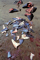 severed fins from freshly butchered blue sharks, Prionace glauca, and mako sharks, Isurus oxyrinchus, local Mexican shark fishery, Magdalena Bay, Baja, Mexico, Pacific Ocean