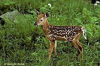 MA11-016z  White-tailed Deer - fawn - Odocoileus virginianus