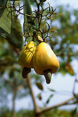 Amazonia, Brazil. Cashew fruit 'Caju' (Anacardium occidentale) growing on a tree.