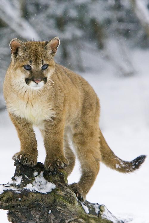 Puma kitten watching intently through the snow - CA