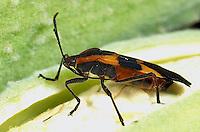 HE05-022c Large Milkweed Bug Adult on milkweed seed pod, Oncopeltus fasciatus.