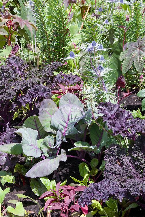 Kale Redbor in mixed vegetable and flower garden, Ricinus, Papaver, Eryngium
