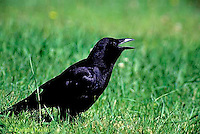 BL04-003z  Crow - cawing - Corvus brachyrhynchos