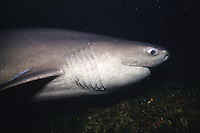 A Sixgill shark (Hexanchus griseus) in Barkely Sound, British Columbia, Canada.