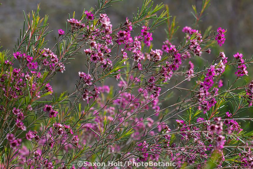 Chamelaucium uncinatum 'Purple Pride' (Geraldton Waxflower), flowering shrub, Australian Native Plant Nursery, Ventura, California