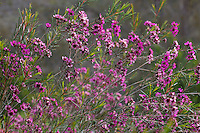 Chamelaucium uncinatum 'Purple Pride' (Geraldton Waxflower), flowering shrub, Australian Native Plant Nursery, Ventura, California
