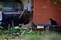 Key Deer Buck feeding between pickup and old trailer.  Big Pine Key in the Florida Keys.