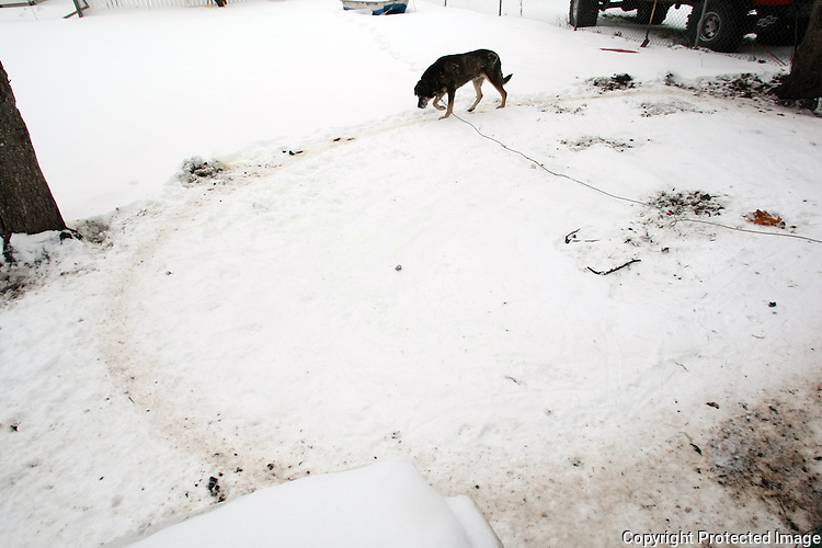 At the end of his rope, a dog walks in continuous circles wearing a path in the snow in Enumclaw,Wash. on December 23, 2008.(Karen Ducey/Seattle Post-Intelligencer)