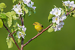 Female American goldfinch perched in a blossoming apple tree.