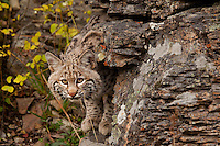 Bobcat peering out from behind a lichen-covered rock - CA