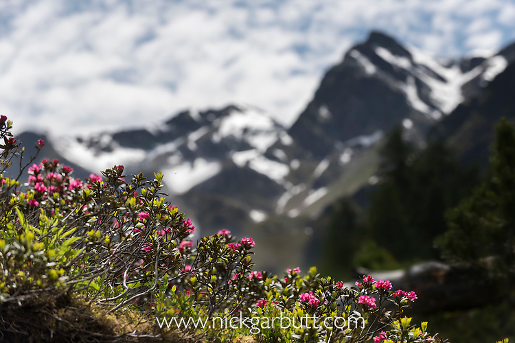 Alpenrose (Rhododendron ferrugineum) in flower growing in high-mountainvalley with snow-capped peaks behind. Nordtirol, Tirol, Austrian Alps, Austria, 2300 metres, July.