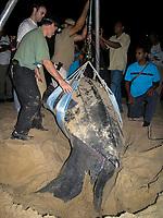 research, Dr. Scott Eckert weighs a nesting leatherback sea turtle, Dermochelys coriacea, Dominica, Caribbean, Atlantic