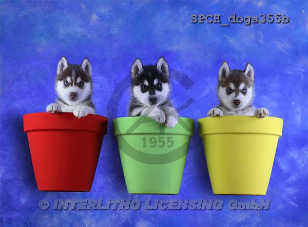 Xavier, ANIMALS, dogs, photos(SPCHdogs355b,#A#) Hunde, perros