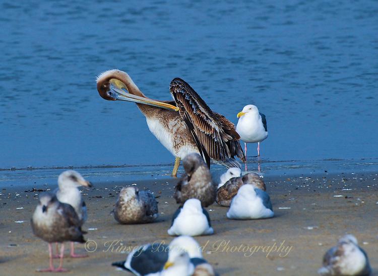 California brown pelican preening on the shores at Moss Landing California.
