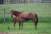 0510-0910  Dutch Warmblood Horse, Mare with Nursing Foal, Equus ferus caballus  © David Kuhn/Dwight Kuhn Photography