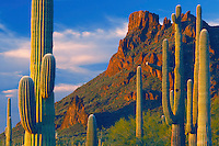Saguaros near Alamo Wash<br /> Ajo Range<br /> Organ Pipe Cactus National Monument<br /> Sonoran Desert,  Arizona