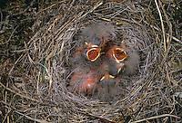 Gebirgsstelze, bettelnde, sperrende Küken im Nest, Gebirgs-Stelze, Gebirgstelze, Bergstelze, Motacilla cinerea, Grey Wagtail
