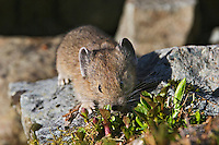 Pika (Ochotona princeps) in alpine rock pile foraging for food.  Pacific Northwest.  Summer.