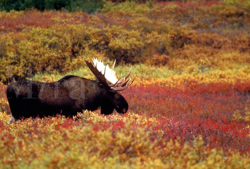Bull Moose stands in colorful  autumn tundra