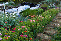 No-till flower farming, rows of zinnia; Singing Frogs Farm