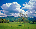Great Smoky Mountains National Park, TN:<br /> Single tree in spring pasture under building sumulus clouds - Cades Cove