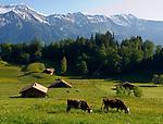 CHE, SCHWEIZ, Kanton Bern, Berner Oberland, Wandergebiet Axalp oberhalb des Brienzersees: Kuehe auf Almwiesen vorm Brienzer Rothorn (2.350 m) | CHE, Switzerland, Bern Canton, Bernese Oberland, hiking region Axalp above Lake Brienz: cattle on alpine pastures and Brienzer Rothorn mountain (7.710 ft.)