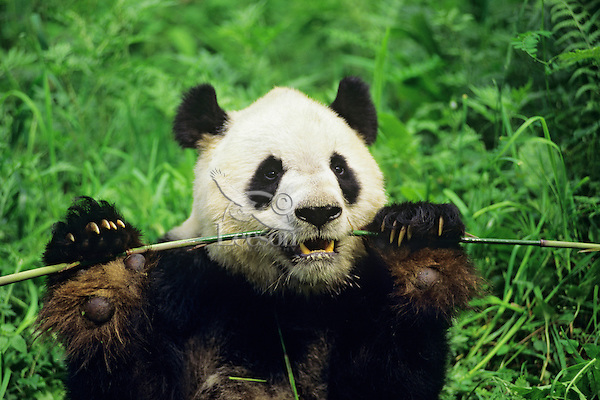 Giant Panda (Ailuropoda melanoleuca) eating bamboo, Wolong Nature Reserve in the Qionglai Mountains, Sichuan Province of central China.