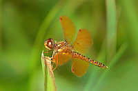 304560007 a wild male eastern amberwing dragonfly perithemis tenera perches on a dead grass stem at santa ana national wildlife refuge rio grande valley texas united states