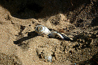 Australian Flatback Turtle Hatchling Emerges from its nest at Flinder's Beach, Mapoon, Cape York Peninsula