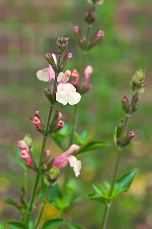Salvia x jamensis 'Sierra San Antonio', mid June.