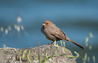 California Towhee, Melozone crissalis, at Cesar Chavez Park, Berkeley, California