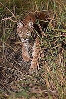 Siberian Lynx stalking through some tall grass - CA