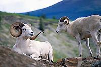 Dall Sheep Rams (Ovis montana dalli), Northern BC, British Columbia, Canada