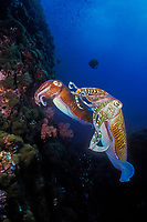 A male Pharaoh cuttlefish, Sepia pharaonis, maintains gentle contact with a female while she searches for a suitable crevice to deposit her eggs. Richelieu Rock, Thailand, Andaman Sea