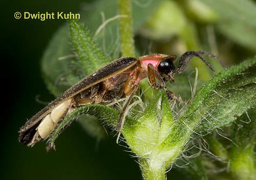 1C24-673z  Pyralis Firefly - Lightning Bug - Male - Photinus spp.