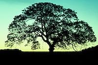California, Oak Tree at dawn