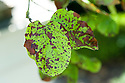 Quince leaf blight is a form of fungal leaf spot. Red-brown spots appear on leaves, which turn yellow, wither, and die.