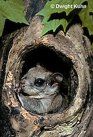 MA29-025z  Flying Squirrel - in a nest cavity - Glaucomys sabrinus