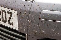 Dead flies on car front