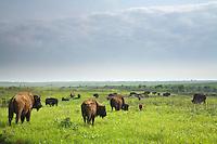 Bison Herd roaming the tallgrass prairie at Prairie State Park, Missouri, AGPix_0633
