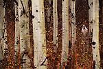 Gray wolf howling among aspens, Montana