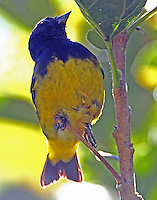 Male yellow-bellied siskin